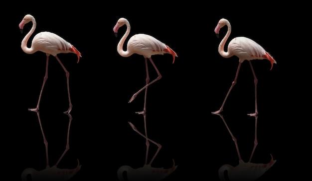 Piękny różowy flaming pozowanie. odosobniony