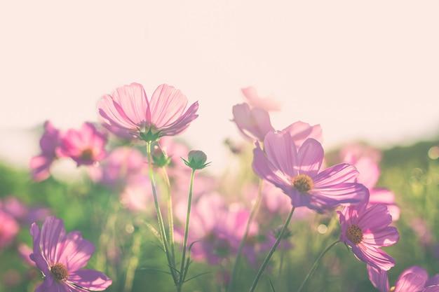 Piękny różowy kosmos kwitnie kwitnienie w polu.