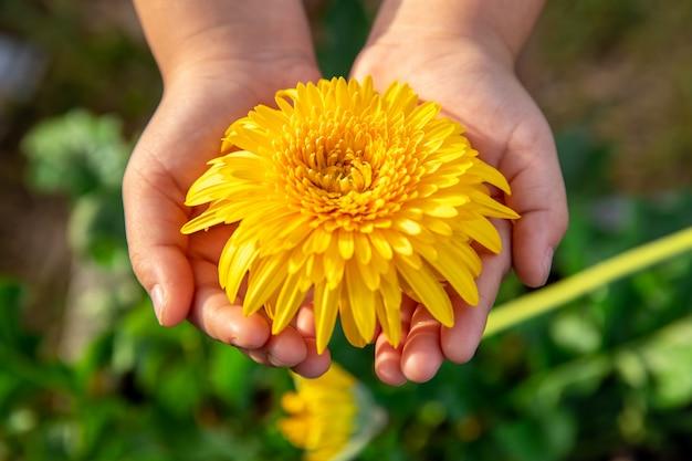 Piękny różowy kosmosu kwiat na ręce z zieleń ogródu tłem