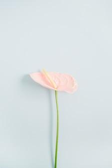 Piękny różowy kwiat anturium na białym tle na blady pastelowy błękit