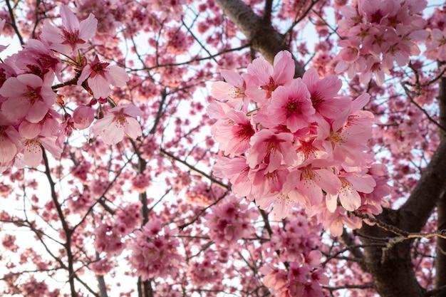 Piękny różowy kwiat brzoskwini