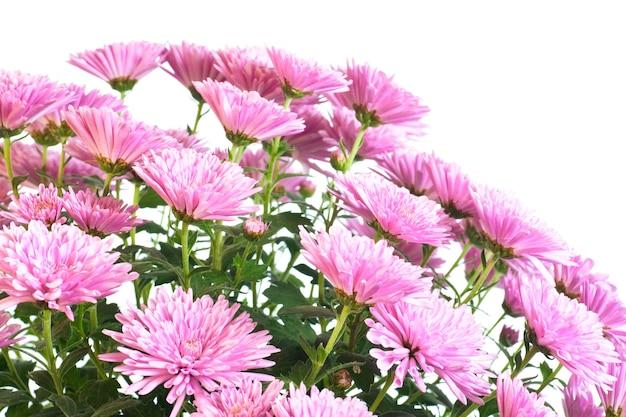 Piękny różowy kwiat chryzantemy (jesienne żywe tło) na białym tle