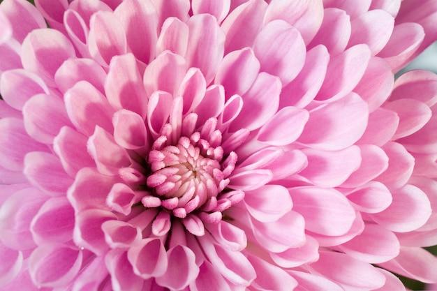 Piękny różowy kwiat chryzantemy (jesienne żywe tło)