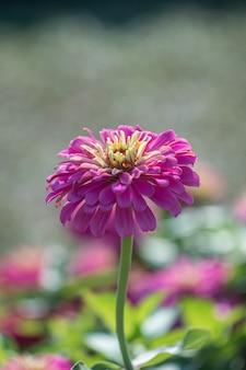 Piękny różowy kwiat cynia zwyczajna (zinnia elegans) w ogrodzie.