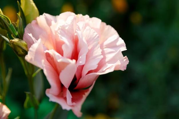 Piękny różowy kwiat eustoma na zielono