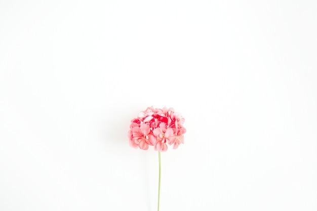 Piękny różowy kwiat hortensji na białym tle