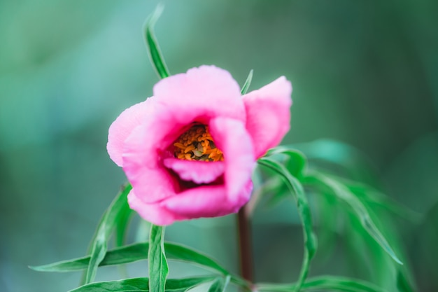 Piękny różowy kwiat kwitnie, zioła lecznicze korzenia maryin, kwiaty w czerwonej księdze