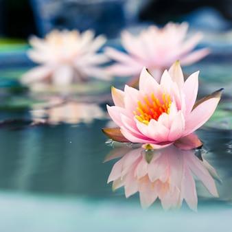 Piękny różowy kwiat lilia wodna lub kwiat lotosu w stawie