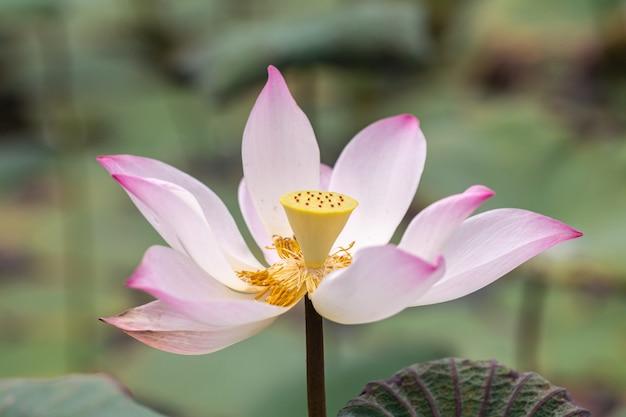 Piękny różowy kwiat lilia wodna lub kwiat lotosu, w tym także imię indian lotus, sacred lotus, bean of india lub po prostu lotus.