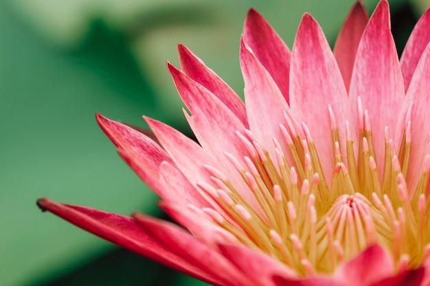 Piękny różowy kwiat lilii wodnej lub lotosu w stawie.