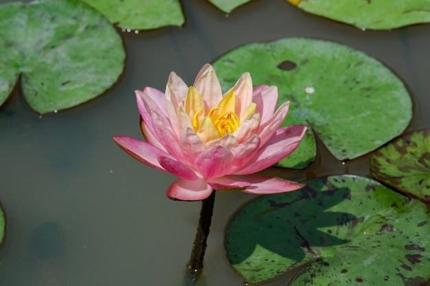Piękny różowy kwiat lotosu kwitnienia