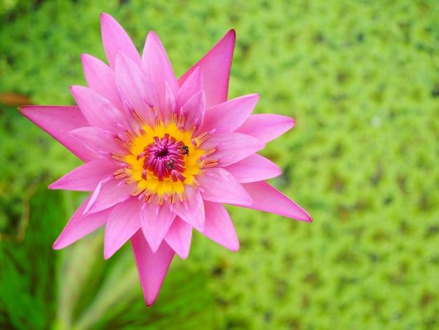 Piękny różowy kwiat lotosu lub lilia wodna na tle zielonych roślin