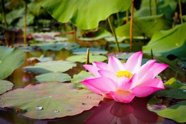 Piękny różowy kwiat lotosu w naturze dla backgroundv