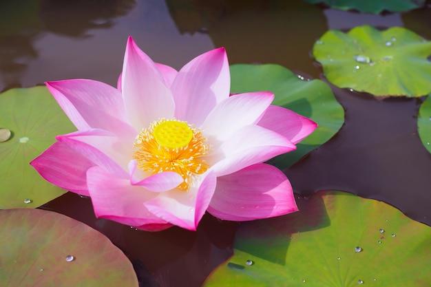 Piękny różowy kwiat lotosu z zielonymi liśćmi w naturze stawu na tle