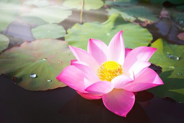 Piękny różowy kwiat lotosu z zielonymi liśćmi w stawowej naturze na tle
