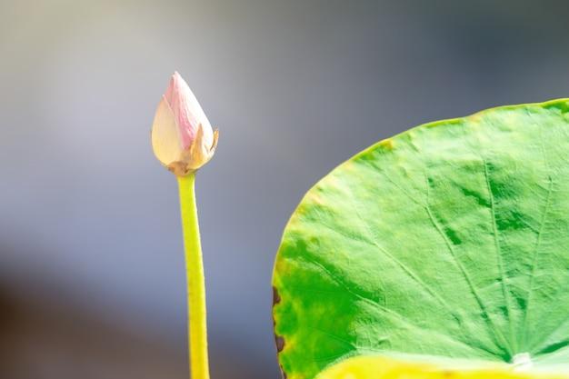 Piękny różowy kwiat lotosu. zamknij ostrość z zielonym liściem w stawie, błękitne wody