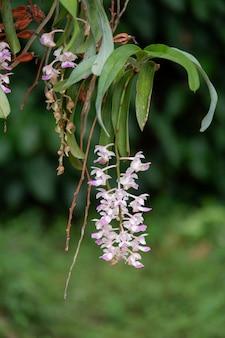 Piękny różowy kwiat orchidei aerides falcata