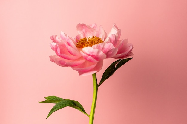 Piękny różowy kwiat piwonii na pastelowej różowej powierzchni, styl miinimal, kolor letni