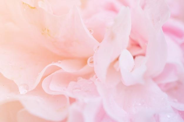 Piękny różowy kwiat róż z bliska abstrakcyjne tło