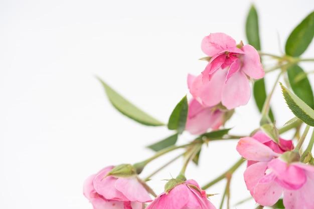 Piękny różowy kwiat róży, kompozycja kwiatowa