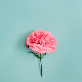 Piękny różowy kwiat róży na niebiesko