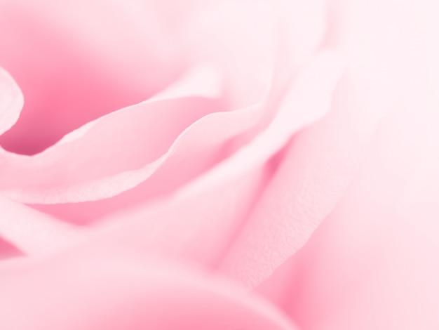Piękny różowy kwiat róży