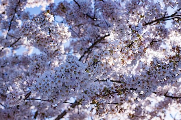 Piękny różowy kwiat sakury (wiśni), wybrane skupienie