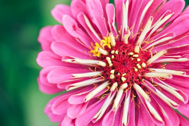 Piękny różowy kwiat w ogrodzie na zewnątrz, fotografia makro kwiatowa, wiosna, kwiat przyrody.