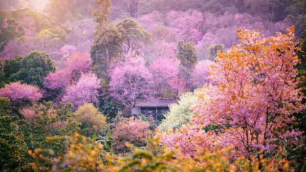 Piękny różowy kwiat wiśni lub kwiat sakura kwitnący nad górską wioską