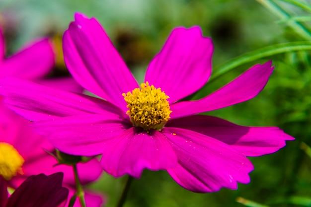 Piękny różowy kwiat