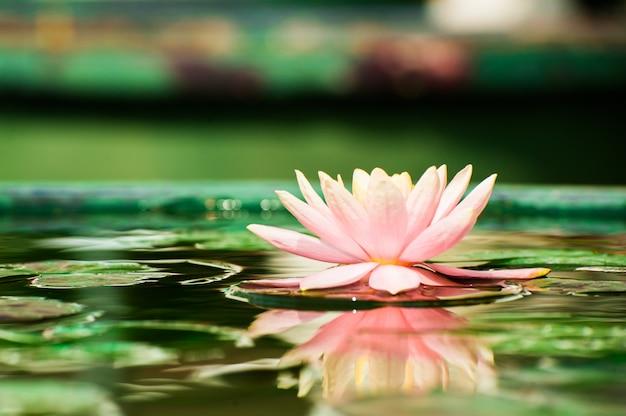 Piękny różowy lilia wodna lub kwiat lotosu w stawie