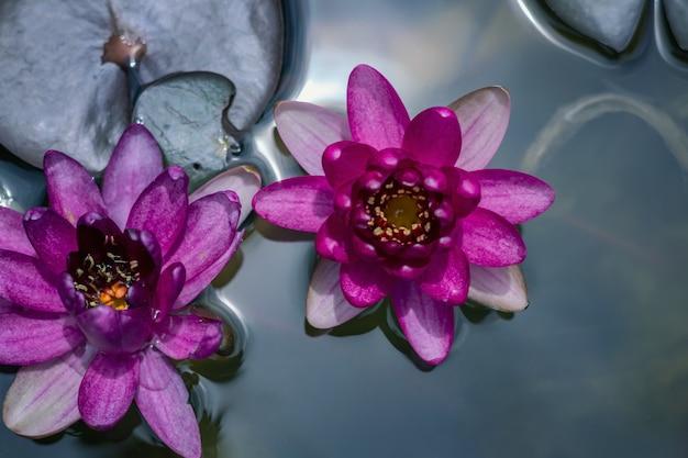 Piękny różowy lotos w stawie