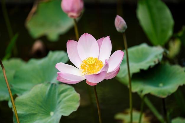 Piękny różowy lotos