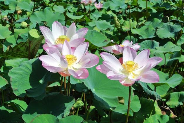 Piękny różowy lotosowy kwiat w kwitnieniu