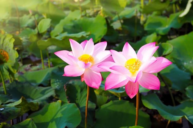 Piękny różowy lotosowy kwiat w naturze z wschodem słońca