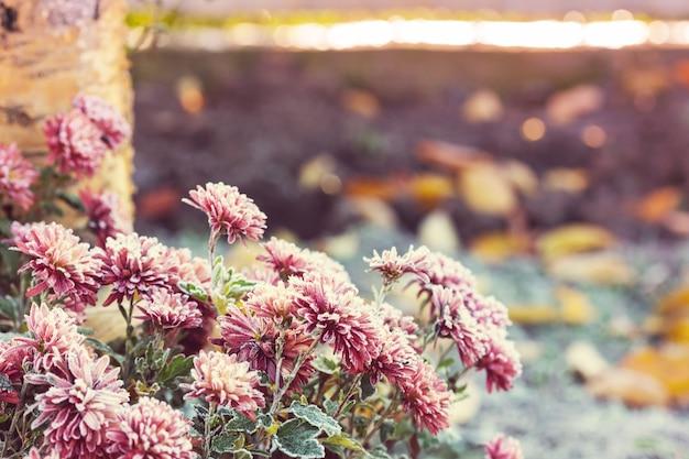Piękny różowy mrożony kwiat późną jesienią rano
