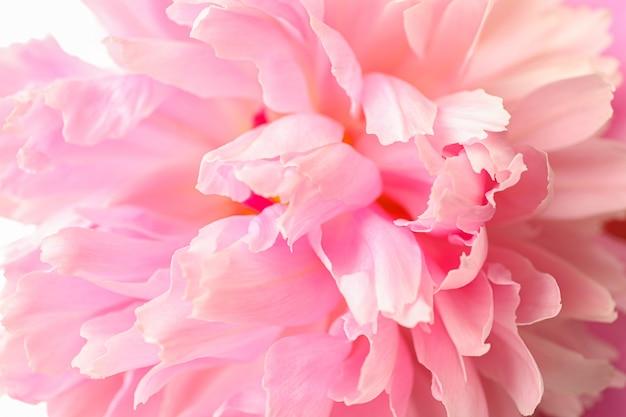 Piękny różowy peonia kwiat jako tło