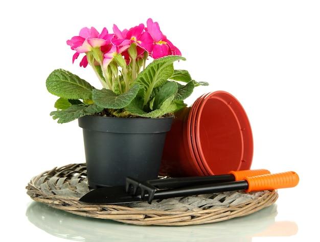 Piękny różowy pierwiosnek w doniczce i narzędziach ogrodniczych, d na białym tle