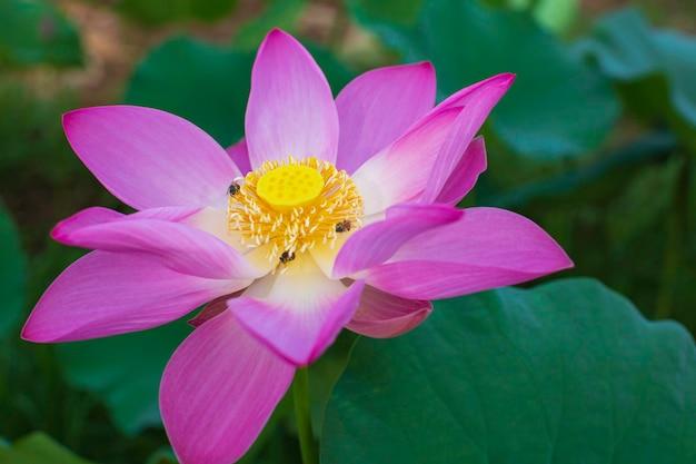 Piękny różowy pyłek kwiat lotosu owad pszczoła leci z pyłkiem w jeziorze, czysty różowy kwiat lotosu zielony liść.