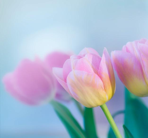 Piękny różowy tulipan tekstury