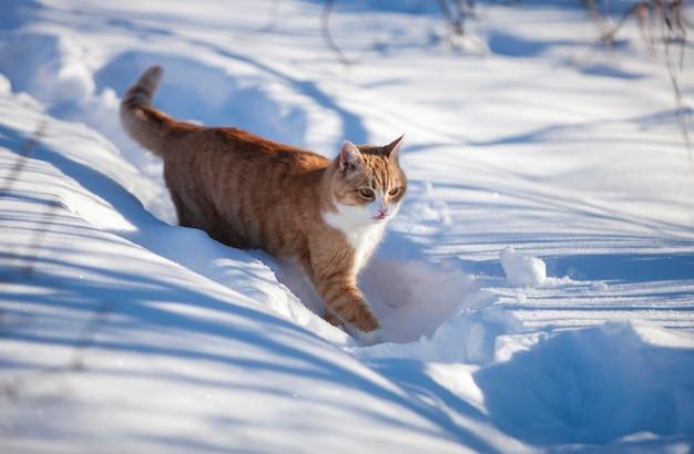 Piękny rudy kot czerwony w śniegu. słoneczny zimowy dzień na zewnątrz