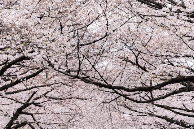 Piękny sakura, kwiat wiśni