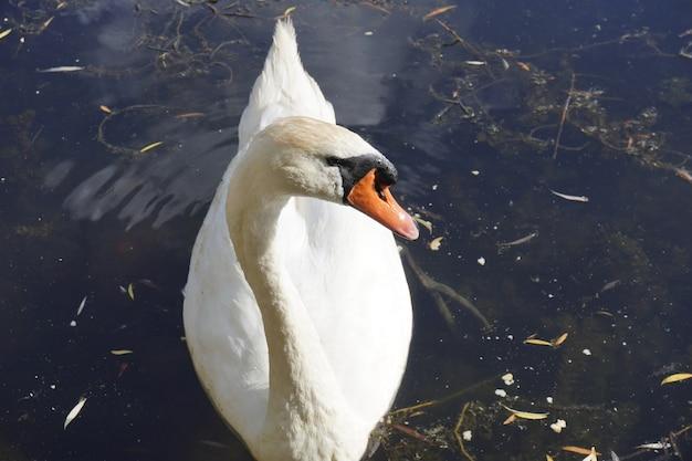 Piękny samiec białego łabędzia pływa w jeziorze