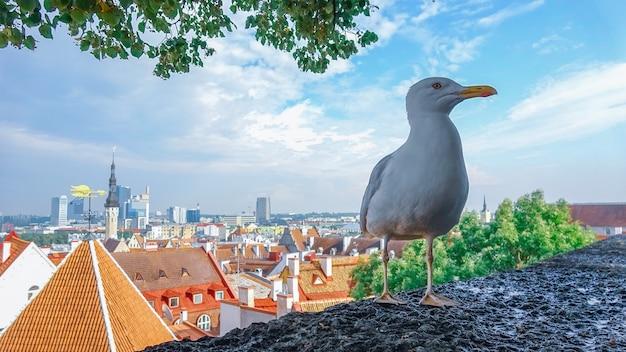 Piękny seagull z miastem tallinn estonia