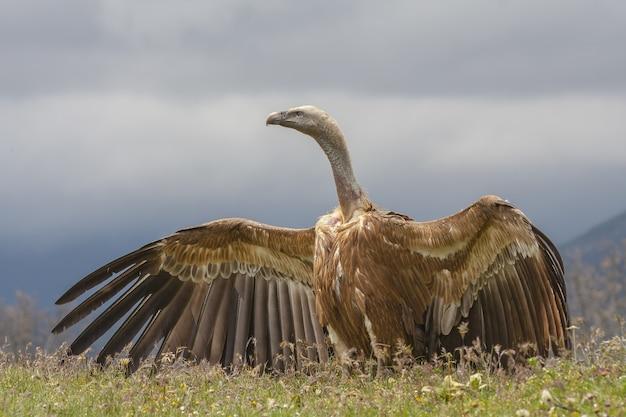 Piękny sęp płowy z otwartymi skrzydłami
