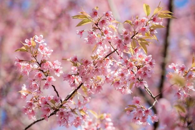 Piękny sezon zimowy z kwiatami wiśni.