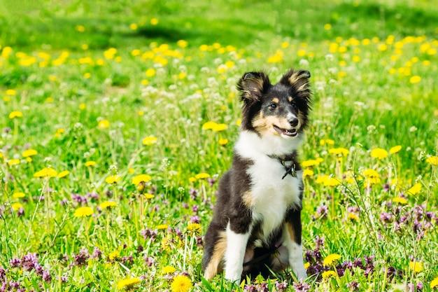 Piękny sheltie collie szczeniak w trawie