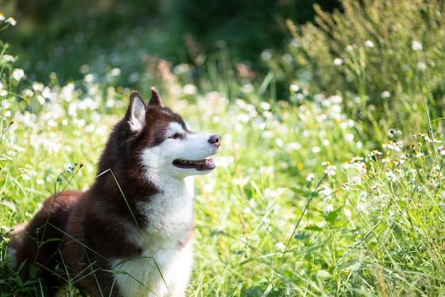 Piękny siberian husky psa odprowadzenie w lesie