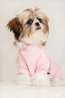 Piękny śliczny szczeniak shih tzu siedzący, ubrany w różową i piękną fryzurę