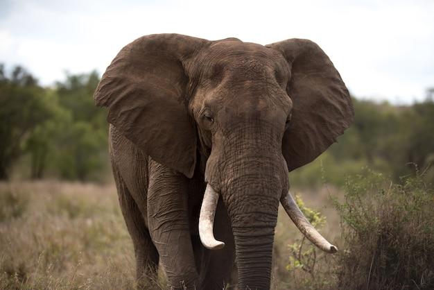 Piękny słoń afrykański